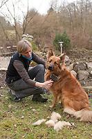 Haushund, Haus-Hund, Hund Schäferhund-Mischling wird gebürstet, Fellpflege, ausgebürstete Haare bleiben liegen als Nistmaterial für Vögel
