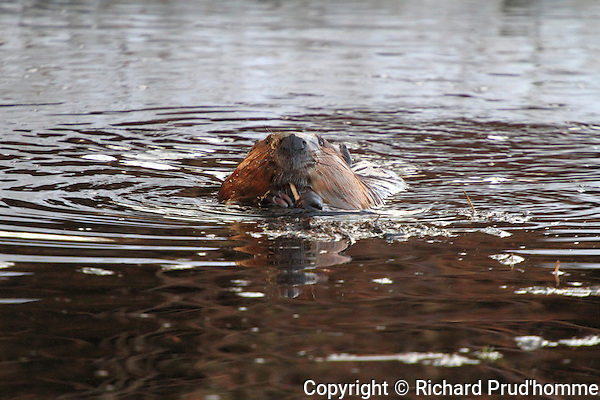 A beaver eating the bark of a small stick