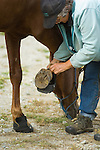 Owner removing horse's boots in Crescent City California