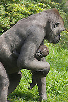 Germany, DEU, Muenster, 2006-Sep-06: A seven weeks old gorilla baby (gorilla gorilla) is being carried by its mother in the Muenster zoo.
