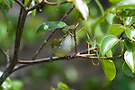 yellow warbler in the mangrove on bartolome galapagos