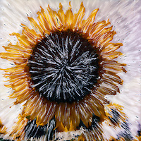 Provence sunflower looking right at you. Turn on the high beams!<br />