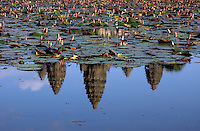 ANGKOR WAT REFLECTION, the Temple towers reflecting in a Lilly Pond, Sieam Reap, Cambodia