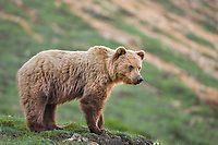 Grizzly bear on the tundra, Denali National park, Aalska.