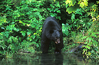 609650307 a wild american black bear ursus americanus stands at the edge of a small pond in a temperate rainforest near hyder alaska