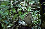 Shikra Hawk, Accipter badius, Northern India.
