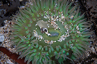Colorful grains of sand have washed into a sea anemone at Fitzgerald Marine Reserve, Moss Beach, California.