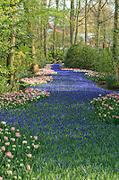 "Hollande, région des champs de fleurs, Lisse, Keukenhof,.rivière de muscaris bordée de tulipes // Holland, ""Dune and Bulb Region"" in April, Lisse, Keukenhof, river of muscaris or.rivière de muscaris or Grape Hyacinth surrounded by tulips."