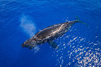 humpback whale, Megaptera novaeangliae, mother and calf, Hawaii, USA, Pacific Ocean