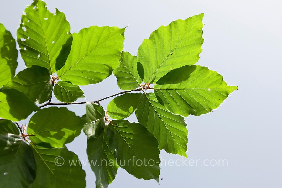 Rot-Buche, Rotbuche, Buche, Fagus sylvatica, Blätter, Blatt vor blauem Himmel, Common Beech
