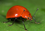 Leaf Beetle, Family: Chrysomelidae, Hacienda Baru, Costa Rica, tropical jungle, South America, red.Central America....