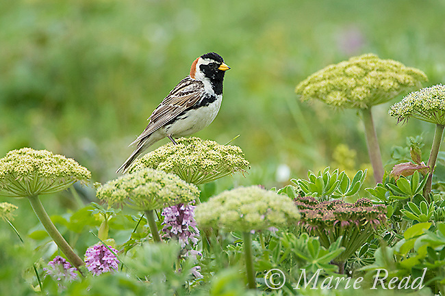 Lapland Longspur (Calcarius lapponicus), male in breeding plumage perched on wild celery in late summer, St. Paul Island, Pribilofs, Alaska, USA