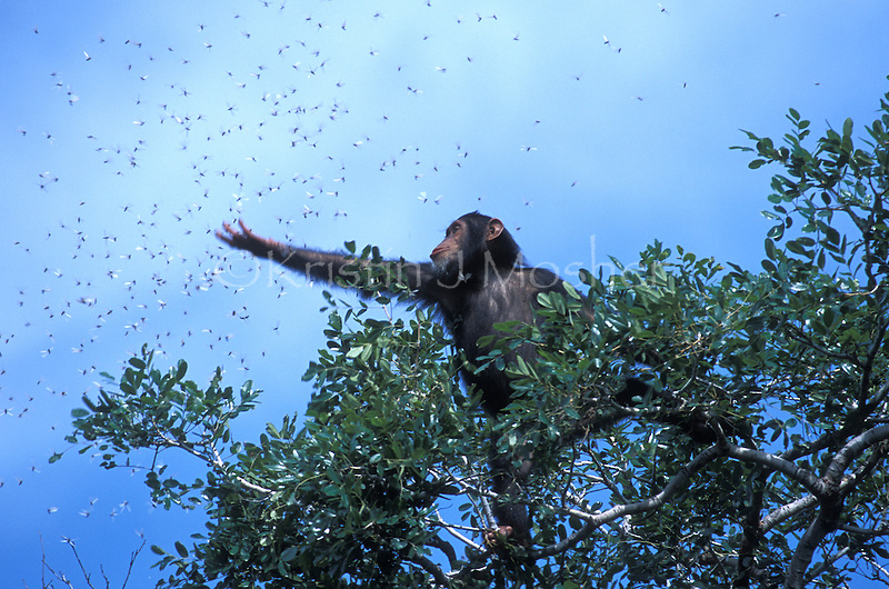 Africa, East Africa, Tanzania, Gombe NP. High in the treetops, a young female chimpanzee, Goldi, catches flying termites to eat. Image awarded Nature's Best 'Highly Honored 2005'.