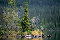 731000290 a fir tree grows on a small island in a large pond near great slave lake in the northwest territories of canada