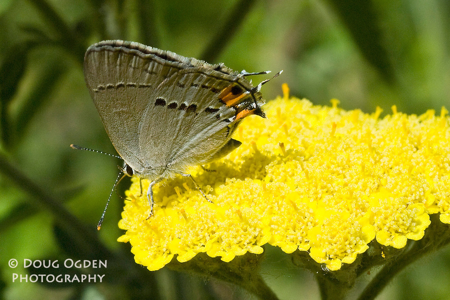 Gray Hairstreak Butterfly on yellow Yarrow flower