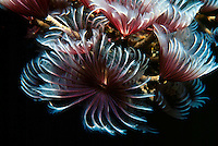FEATHER DUSTERS<br /> Social feather duster plumes<br /> A species of marine bristleworm, native to the Caribbean Sea, social feather dusters are marine tube worms.