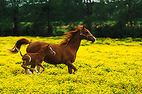 Arabian foal and mare runnning through buttercup flowers.
