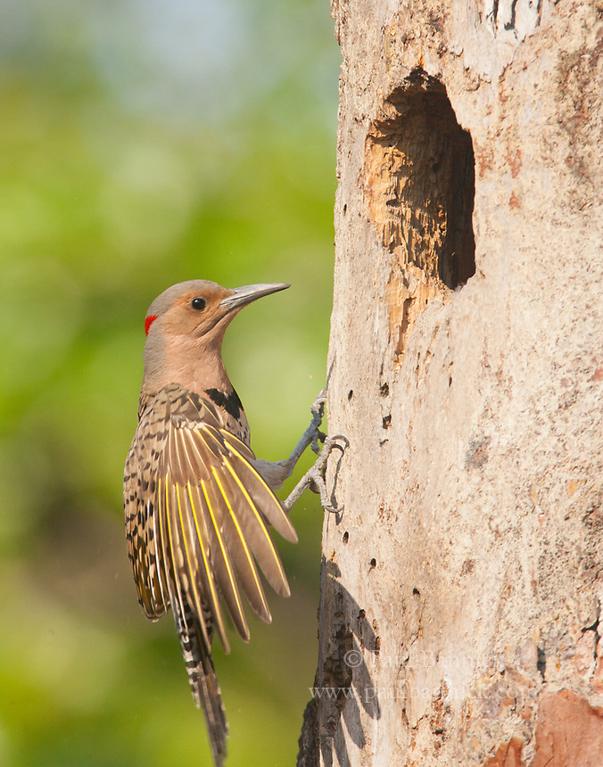 A Northern Yellow-shafted Flicker female arrives at the nest to feed her young.