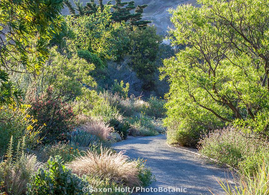 Chilopsis linearis - Desert Willow, California native tree along path in morning light at Leaning Pine Arboretum, California garden