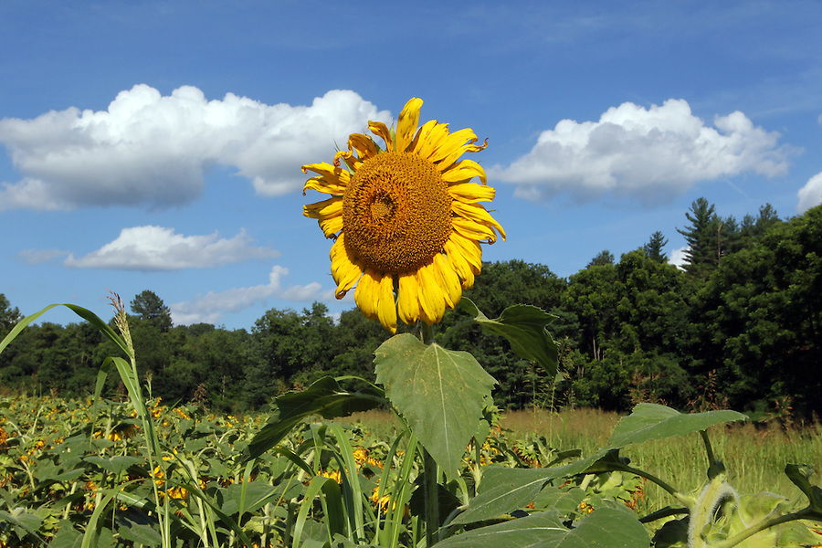 A field of sunflowers in Buckingham County, Va. Photo/Andrew Shurtleff