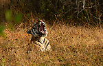 """Pictured: This powerful but sleepy tiger erupts into an extraordinary yawn as he lays in the grass in the Bandipur National Park, India. <br /> <br /> Photographer Kiran Patthi said 'This sleepy tiger was just lazing in the grass sunbathing. After a few minutes he turned towards the sun and let out the most almighty yawn!"""" <br /> <br /> Please byline: Kiran Patthi/Solent News<br /> <br /> © Kiran Patthi/Solent News & Photo Agency<br /> UK +44 (0) 2380 458800"""