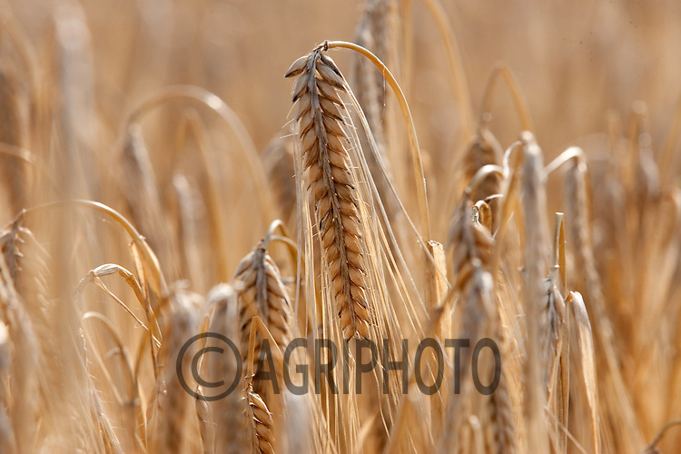 Ripe Winter Barley Ready for harvesting