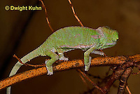 CH46-538z  Veiled Chameleon just hatched young, Chamaeleo calyptratus