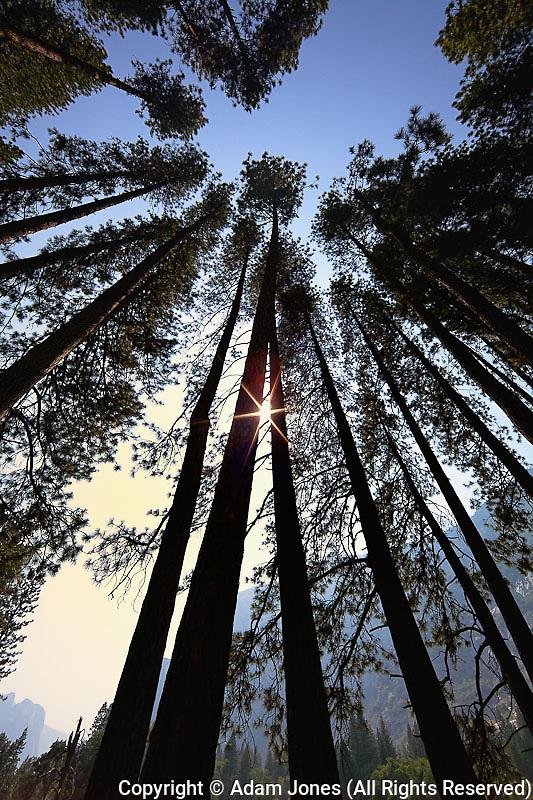 Skyward view of Ponderosa Pines, Yosemite Valley, Yosemite National Park, California