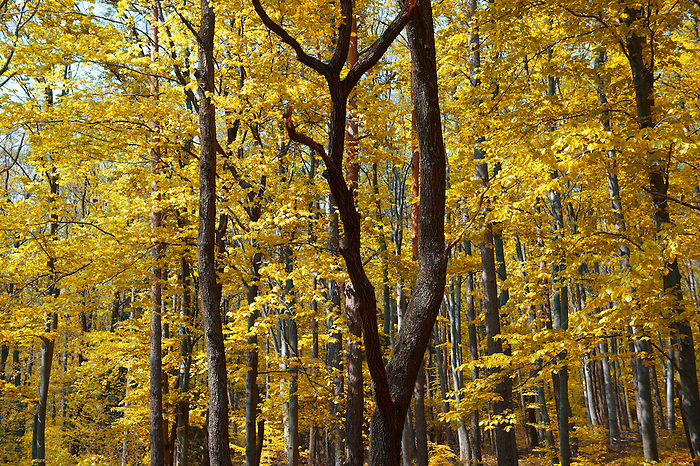 Forest in autumn on St Vid Hill, Velem Hungary