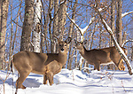 White-tailed deer in a northern forest.