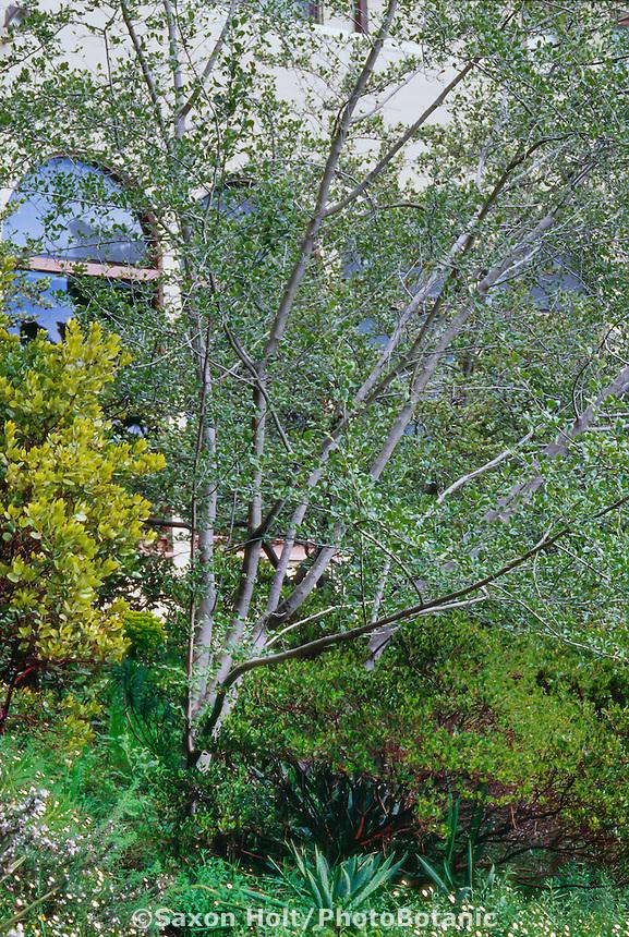 Cercocarpus betuloides v.traskiae (Catalina Island Mountain Mahogany) California native plant