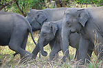 337 Sri Lanka's Elephants and Elusive Leopards
