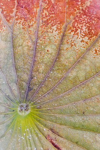 A Lotus leaf in the autumn with pleasing color and a bit of frost.