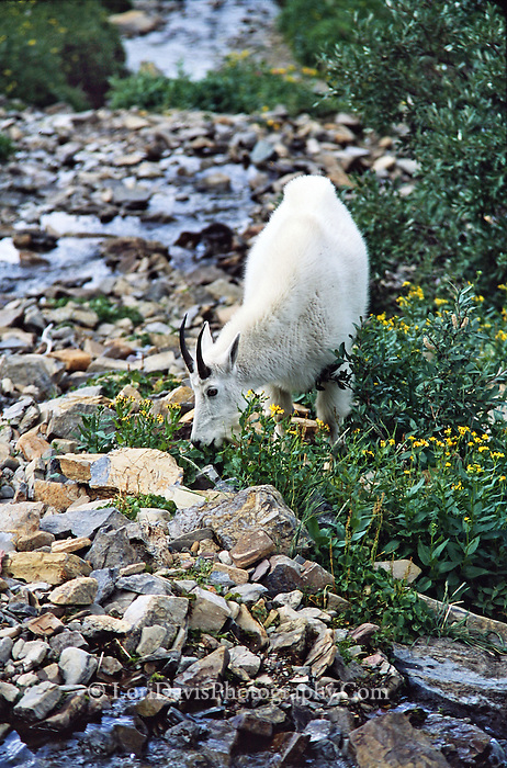 Grazing Mt. Goat Near Stream  #G6