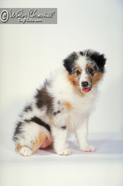 Australian Shepherd Puppy<br />