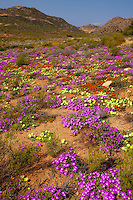 Namqualand wildflowers.Namaqualand, South Africa.Western Cape Region .One of the world's most spectacular wildflower blooms