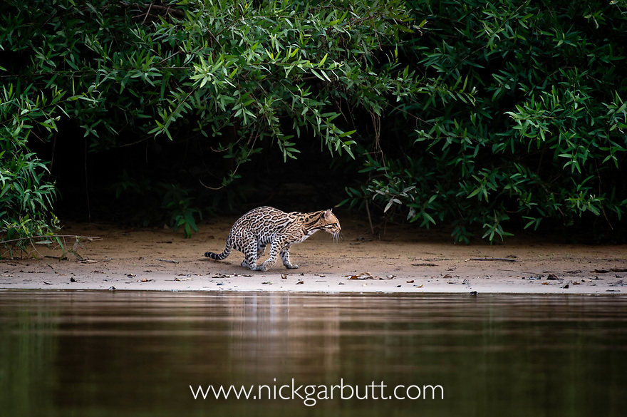 Wild Ocelot (Felis pardalis) on the banks of the Piquiri River (a tributary of Cuiaba River) Northern Pantanal, Brazil. September