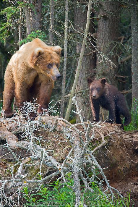 Female brown bear with spring cubs, Katmai National Park, Alaska