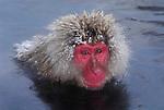 Japanese Macaque, Macaca, fuscata, bathing in hot water spring, Jigokudani National Park, Nagano, Honshu, Asia, primates, old world monkeys, snow, macaques, behavior, onsen, red face, steam, reflection, soft.Japan....