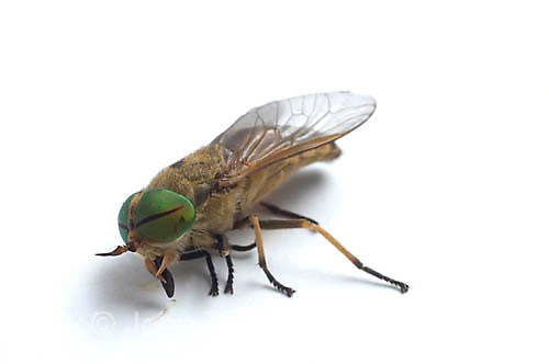 Greenhead horse fly, female, Tabanus sp.