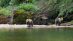 Two five year old grizzly's searching for food along the river