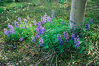 Arctic lupine in bloom at base of Quaking Aspen tree, Denali National Park, Alaska.