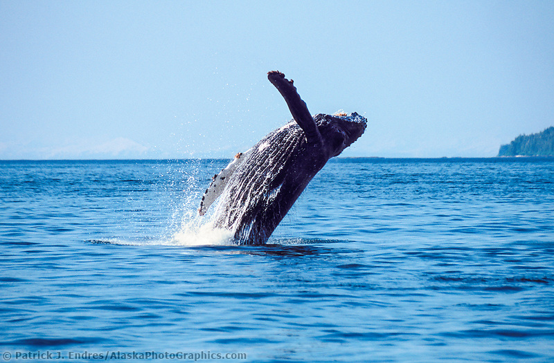 Humpback whales breaches in the southern waters of Prince William Sound, Alaska