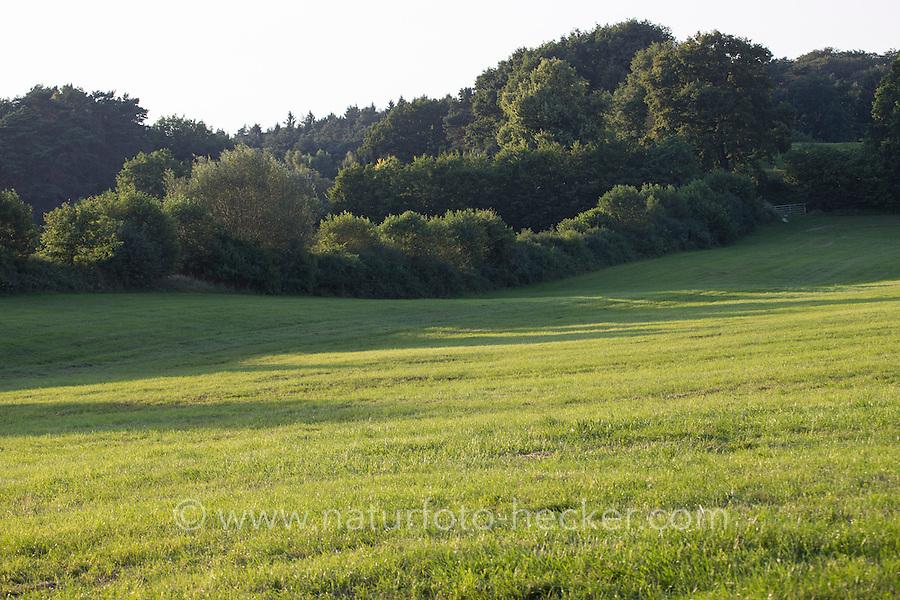 Wiese, Wiesen, Weide, Weiden, Wiesenlandschaft, Weidelandschaft, Hecke, Knick, Knicks, Knicklandschaft, Heckenlandschaft. Meadow, meadows, range land, pasturage, grazing land, Hedge. Hamfelder Hof, Schleswig-Holstein
