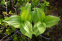 Corn lily rises from the forest floor near the Continental Divide in the Anaconda Mountains.