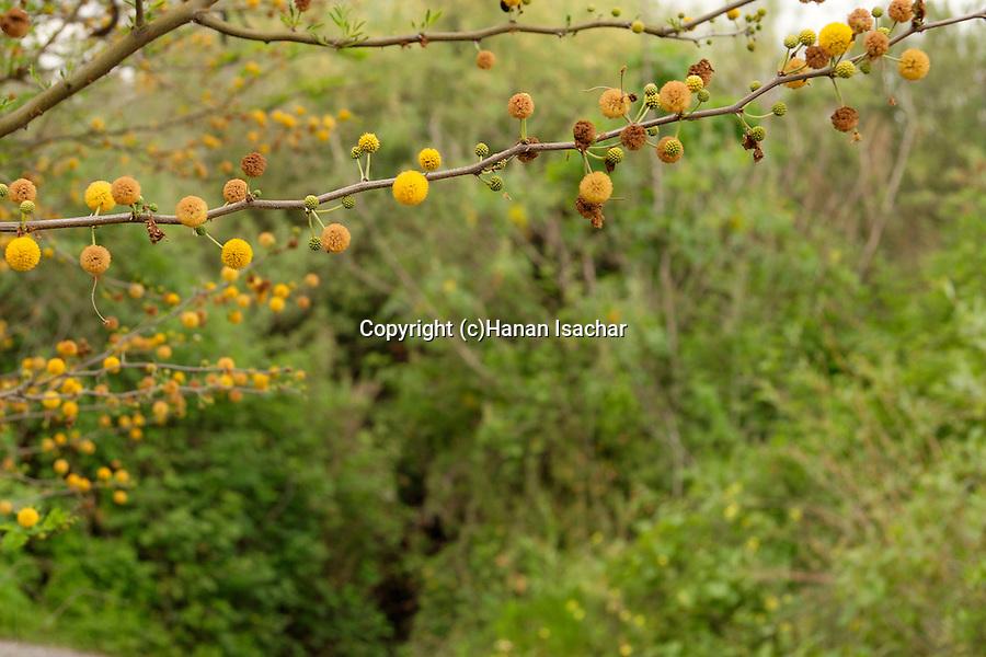 Israel, Acacia farnesiana in the Majraseh nature reserve