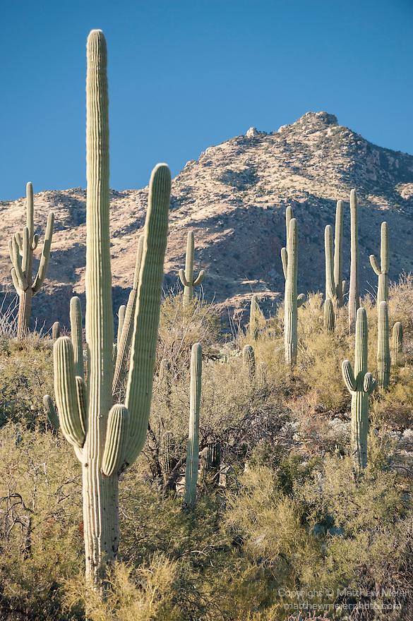 Sabino Canyon Recreation Area, Tucson, Arizona; Saguaro Cactus (Carnegiea gigantea) dot the landscape at the base of the mountains in late afternoon sunlight