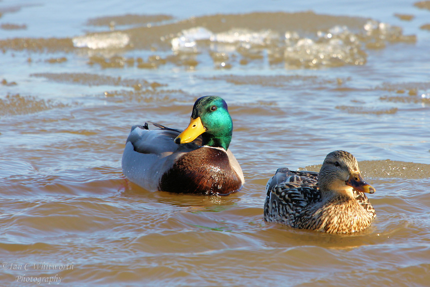 A pair of Mallard ducks swim in the icy waters of Lake Ontario in Canada
