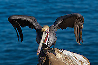 This California brown pelican (Pelecanus occidentalis californicus) is photographed standing on a rock in front of the ocean, just about to take off.  The pelican's feet are splayed out on the rock, and it's hunched forward with its wings arched out, ready to leap into the air and start flying.