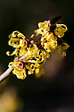 Witch hazel (Hamamelis x intermedia 'Angelly'), end January.